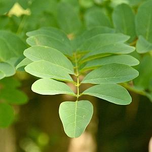 Baum-des-Jahres-2020-Robinie-Blatt